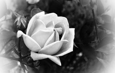 A Rose for Steve Jobs